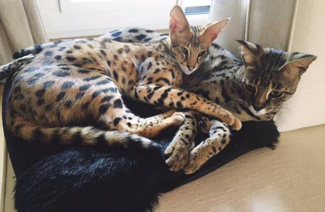 Savannahcats Germany Ig Savannah Cats